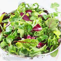 Lettuce 'Bistro Salad Mixed'
