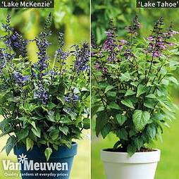 Salvia Salgoon Duo
