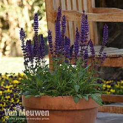 Salvia nemorosa 'Salvatore Deep Blue'