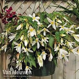 Begonia 'Santa Barbara'