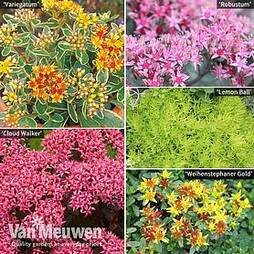 Sedum Collection