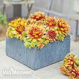 Sempervivum 'Chick Charms® Gold Nugget'