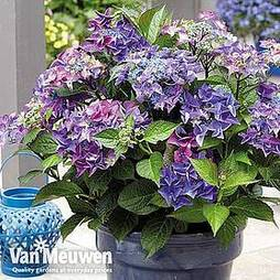 Hydrangea macrophylla 'Black Diamonds Shining Angel Blue'