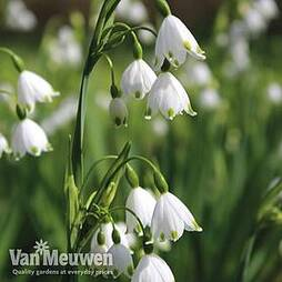 Leucojum 'Spring Snowdrop'