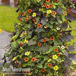 Solar Tower (Thunbergia and Ipomoea)