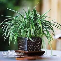 Chlorophytum comosum 'Variegatum'