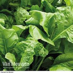 Spinach 'Perpetual' (Spinach Beet)