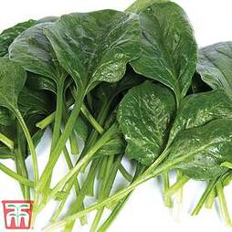 Spinach 'Helios' F1 Hybrid