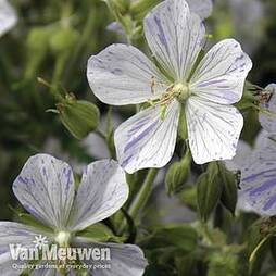 Geranium pratense var. striatum 'Splish Splash'