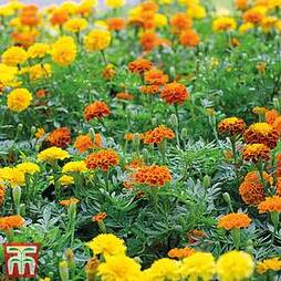 Marigold 'Summer Loving Mixed'