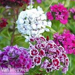 Sweet William 'Sweet Mix'