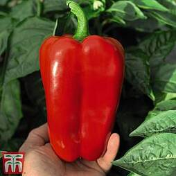 Sweet Pepper 'Red King' F1 Hybrid