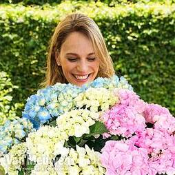 Hydrangea macrophylla 'Three Sisters Pastel'