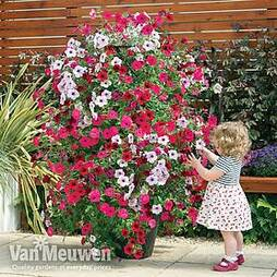 Petunia 'Tidal Wave Improved'