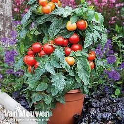 Tomato 'Summerlast'