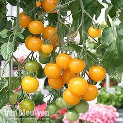 Tomato 'Tumbling Tom Yellow'