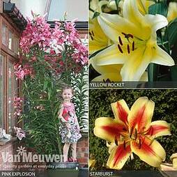 Tree Lily Collection