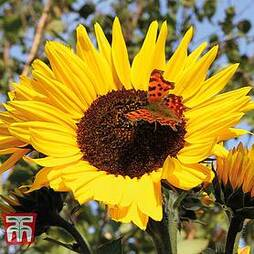 Sunflower 'Russian Giant' (Start-A-Garden™ Range)