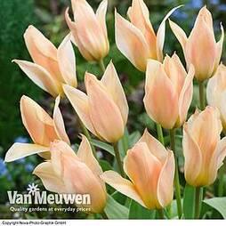 Tulip 'Fur Elise'