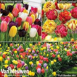 Tulip Bumper Bulb Collection