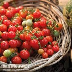 Tomato 'Tumbling Tom Red'