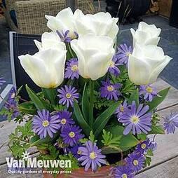 Plant-O-Tray Bulbs Tulip 'Royal Virgin' & Anemone 'Blue Mix'