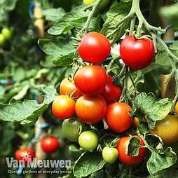 Tomato 'Veranda'