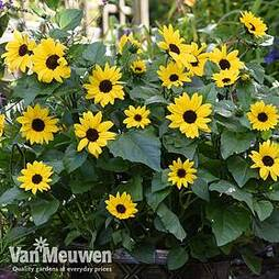 Sunflower SunBelievable™ 'Golden Girl'