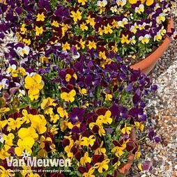 Viola 'Pot Pourri Mixed'