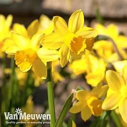 Narcissus 'Cornish Chuckles'