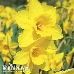 Narcissus 'Rosemoor Gold'