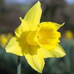 Narcissus 'Treglisson'