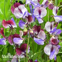Sweet Pea 'Three Times As Sweet'