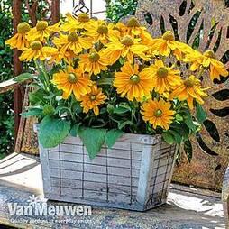 Rudbeckia hirta 'Amarillo Gold'