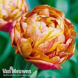 Tulip 'Brownie'