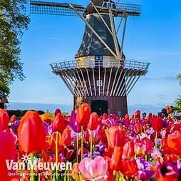 Tulip Delightfully Dutch Mix