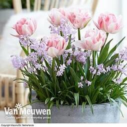 Plant-O-Mat Bulbs Tulip 'Foxtrot' and Chionodoxa 'Pink Giant'