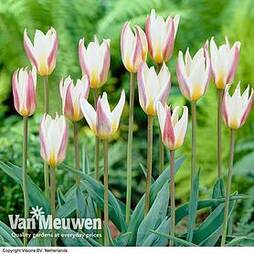 Tulip 'Ice Stick' (Kaufmanniana Group)