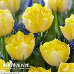 Tulip 'Secret Perfume'