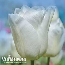 Tulip 'White Prince'