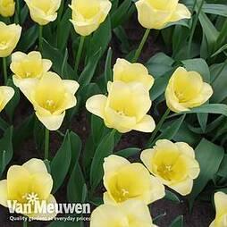 Tulip 'World Friendship'