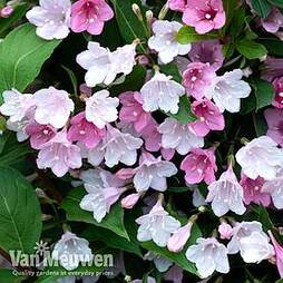 Weigela 'Towers of Flowers'® Duo