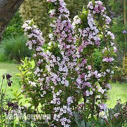 Weigela Towers of Flowers® 'Apple Blossom'