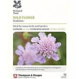 Field Scabious (National Trust)