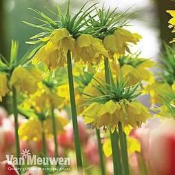 Fritillaria imperialis 'Maxima Lutea'