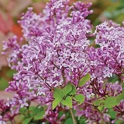 Lilac 'Palibin'