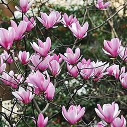 Magnolia 'Heaven Scent'(Large Plant)