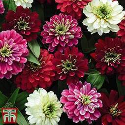 Zinnia marylandica 'Zahara Double Berries Mix'