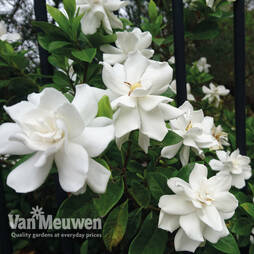 Gardenia 'Crown Jewels'