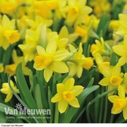Daffodil 'T'te-'-T'te'